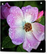 Roses After The Rain Acrylic Print