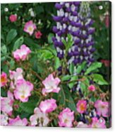 Roses And Lupines Acrylic Print
