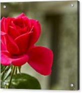 Red Rose Wall Art Print Acrylic Print