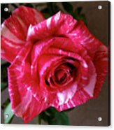 Roses Are Red Right Acrylic Print