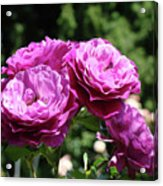 Roses Art Rose Garden Pink Purple Floral Prints Baslee Troutman Acrylic Print