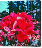 Roses At Mont Alto Acrylic Print