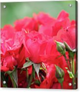 Roses Close Up Nature Spring Scene Acrylic Print
