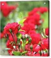 Roses Garden Spring Scene Acrylic Print