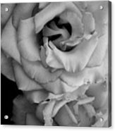 Roses In Black And White Acrylic Print