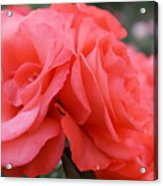 Roses In Dark Pink I Acrylic Print
