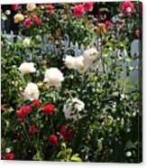 Roses In Red And White Acrylic Print