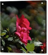 Roses In The Wind Acrylic Print