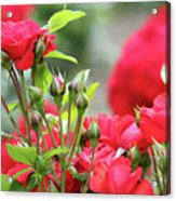 Roses Nature Spring Scene Acrylic Print