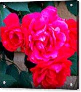Roses On Stucco Acrylic Print