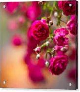 Roses Peace Acrylic Print