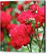Roses Spring Scene Acrylic Print