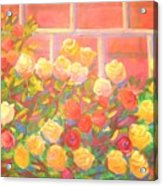 Roses The Gift Of Lovers. Acrylic Print