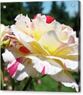 Roses White Pink Yellow Rose Flowers 3 Rose Garden Art Baslee Troutman Acrylic Print