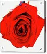 Roses26 Acrylic Print