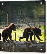 Rosie And Cubs Acrylic Print