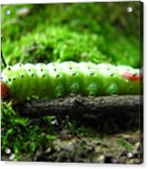Rosy Maple Moth Caterpillar Acrylic Print
