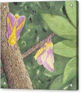 Rosy Maple Moth Gathering Acrylic Print