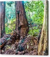 Rotten Redwoods Of Muir Woods Acrylic Print