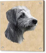 Rough Coated Lurcher  Acrylic Print