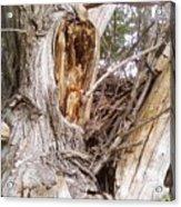 Rough Tree Acrylic Print