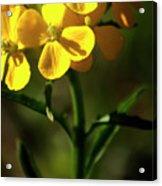 Rough Wallflower  -  60618-122 Acrylic Print
