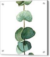 Round Leaf Eucalyptus Twig Acrylic Print