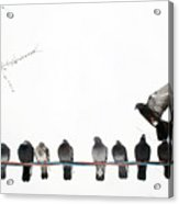 Row Of Pigeons On Wire Acrylic Print by Ernest McLeod