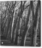 Row Trees Acrylic Print