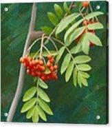 Rowan Tree Acrylic Print