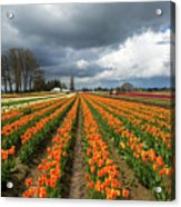Rows Of Colorful Tulips At Festival Acrylic Print