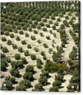 Rows Of Olive Trees Growing In The Village Of Baena Acrylic Print