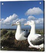 Royal Albatrosses Nesting Acrylic Print