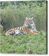 Royal Bengal Tiger Acrylic Print