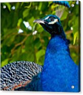 Royal Bird Acrylic Print
