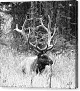 Royal Elk Acrylic Print