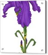 Royal Iris II Acrylic Print