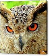 Royal Owl Acrylic Print