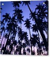 Royal Palm Grove Acrylic Print