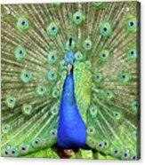 Royal Peacock Acrylic Print