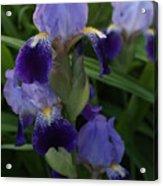 Royal Purple Iris's Acrylic Print