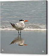 Royal Tern Reflection Acrylic Print