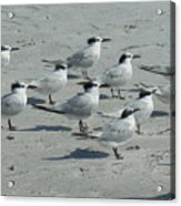 Royal Terns #3 Acrylic Print