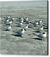 Royal Terns #4 Acrylic Print