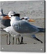 Royal Terns And Gulls Acrylic Print