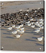 Royal Terns At Sebastian Inlet In Florida Acrylic Print