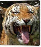 Royal Tiger Acrylic Print