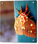 Royal Walnut Moth Acrylic Print