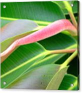 Rubber Tree - New Leaf Acrylic Print