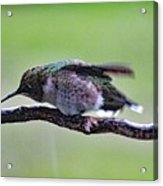 Rubbing Its Bill - Ruby-throated Hummingbird Acrylic Print